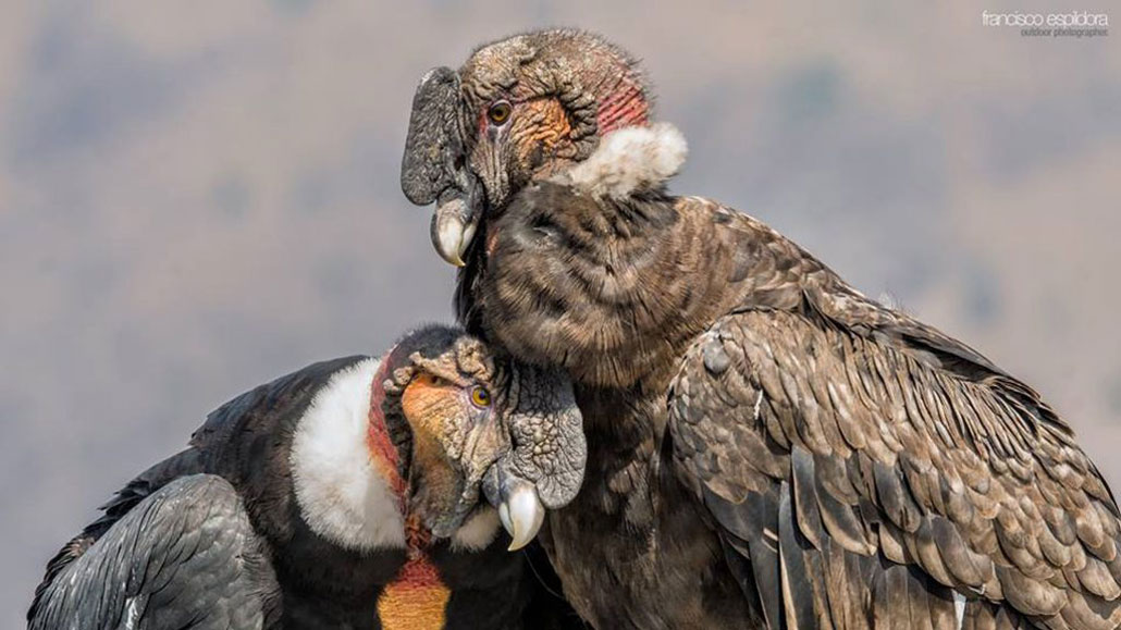 Pareja-Condores