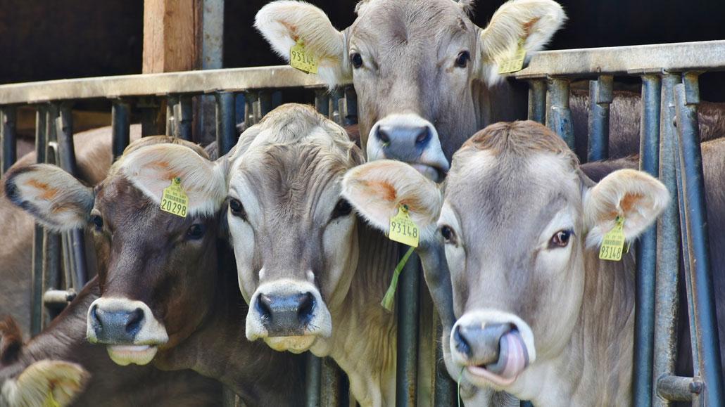 Vacas-leche